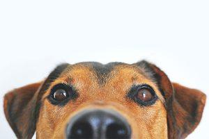 Pet dog looking at camera